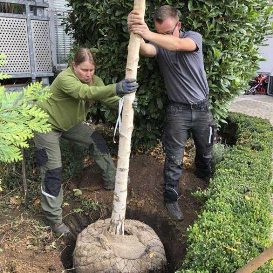 Neupflanzung eines Baumes durch den Baumdienst Herkenrath